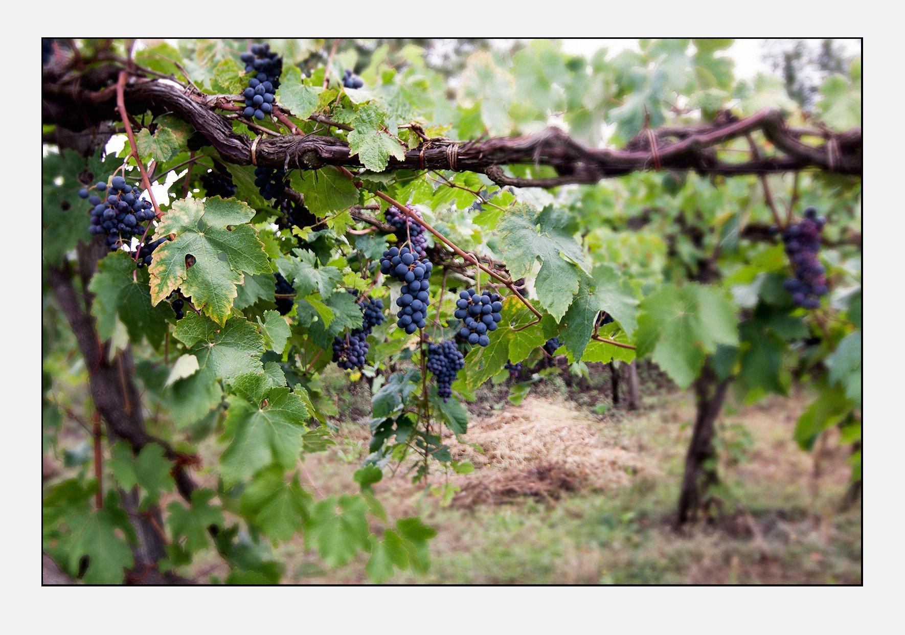 Grapes (Renato Corradi)