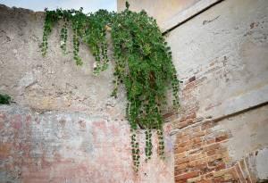 pianta-di-cappero (Renato Corradi)