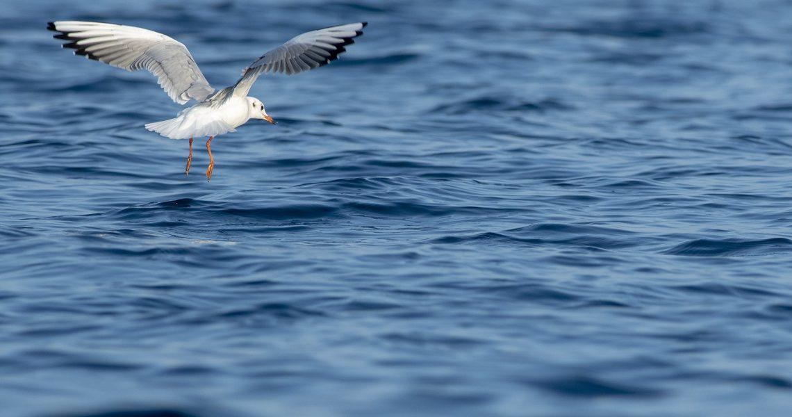 Seagull Joe Termoli