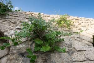 pianta-di-cappero-2 (Renato Corradi)